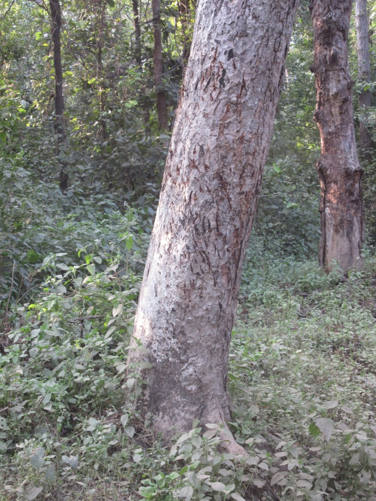 Tiger Claw Marks on a Tree in Kanha National Park in India