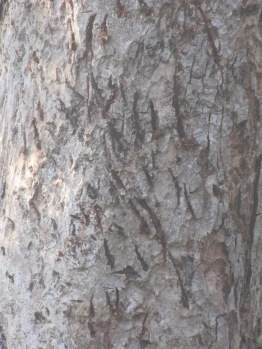 A Close Up of Tiger Claw Marks on a Tree at Kanha National Park in India