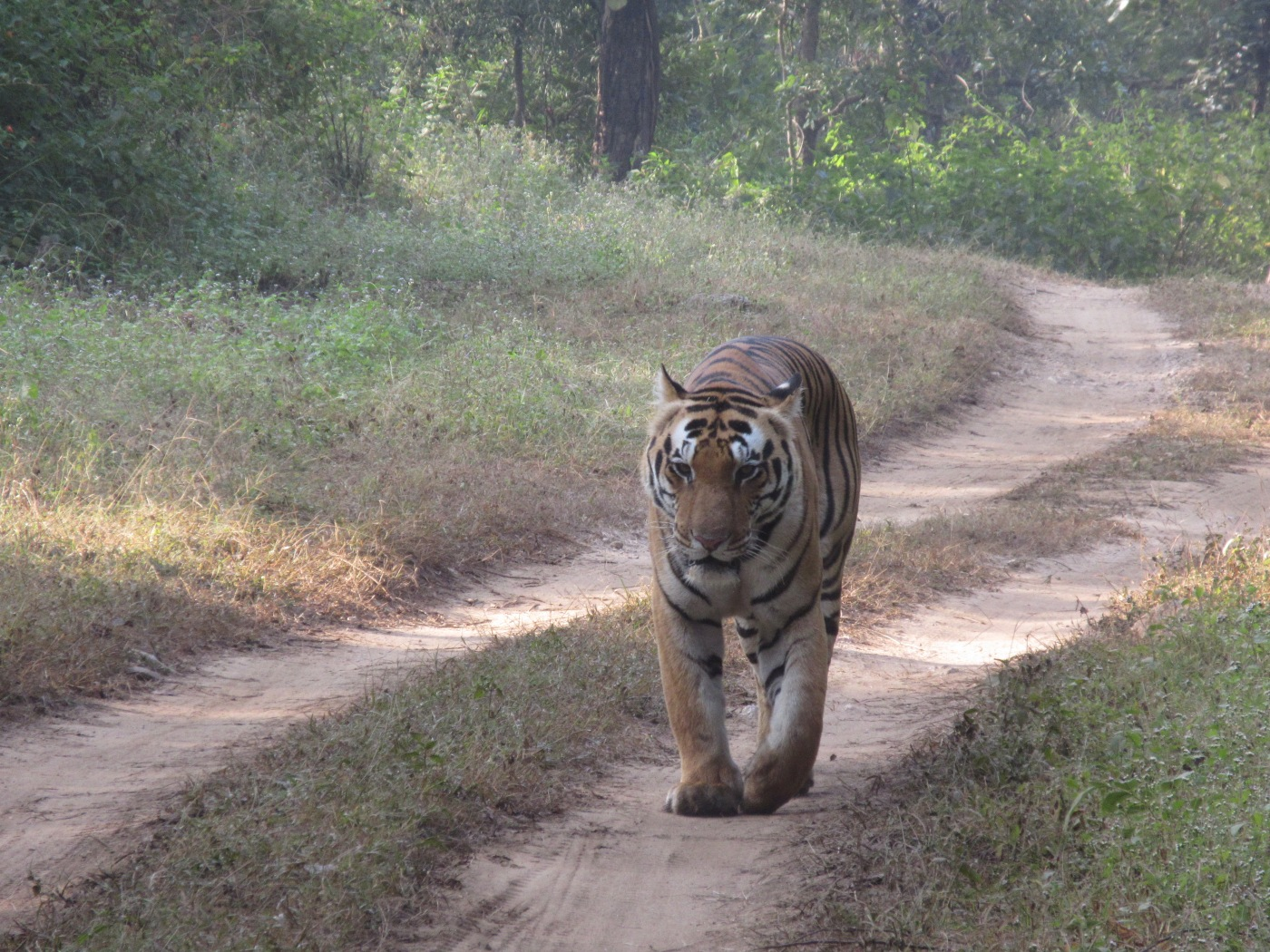 A Wild Male Tiger in India's Kanha National Park
