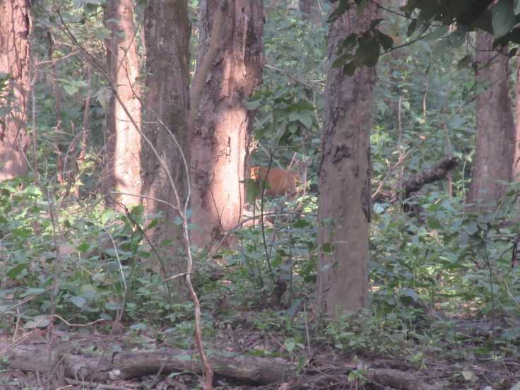 A Barking Deer Hides in the Brush in India's Kanha National Park