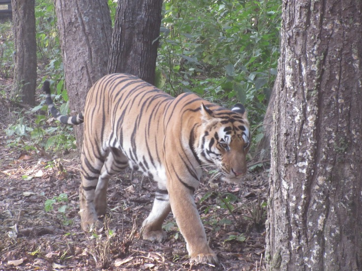 A Male Tiger Walking in India's Kanha National Park