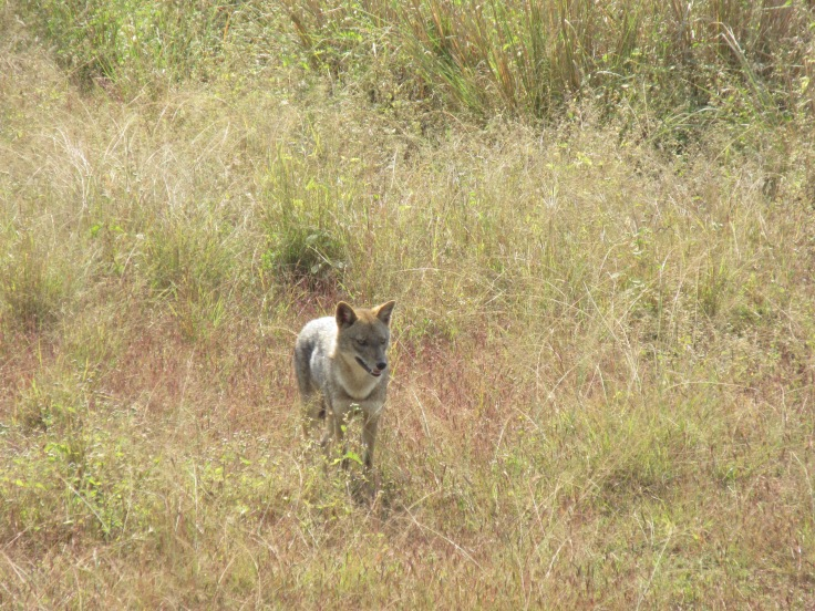 A Jackal Hides in the Brush in India's Kanha National Park