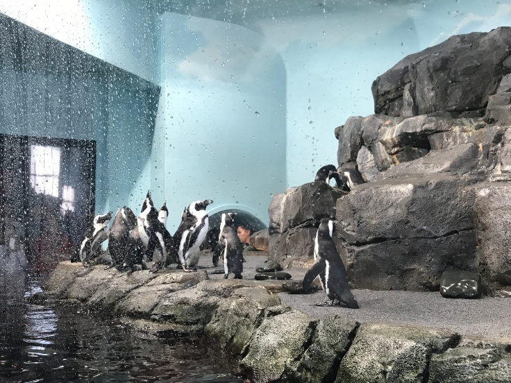 It's Hard Not to Stare at the Monterey Bay Aquarium's Adorable African Penguins