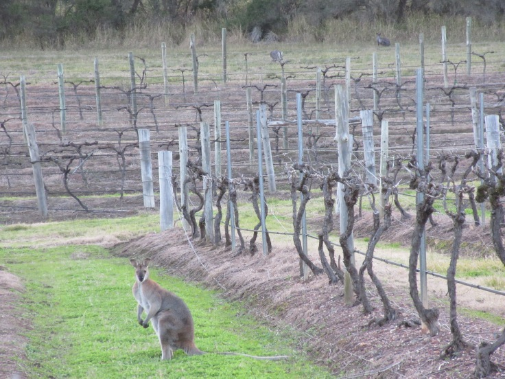 Even the Kangaroos in Australia Enjoy Fine Wine and Fine Dining