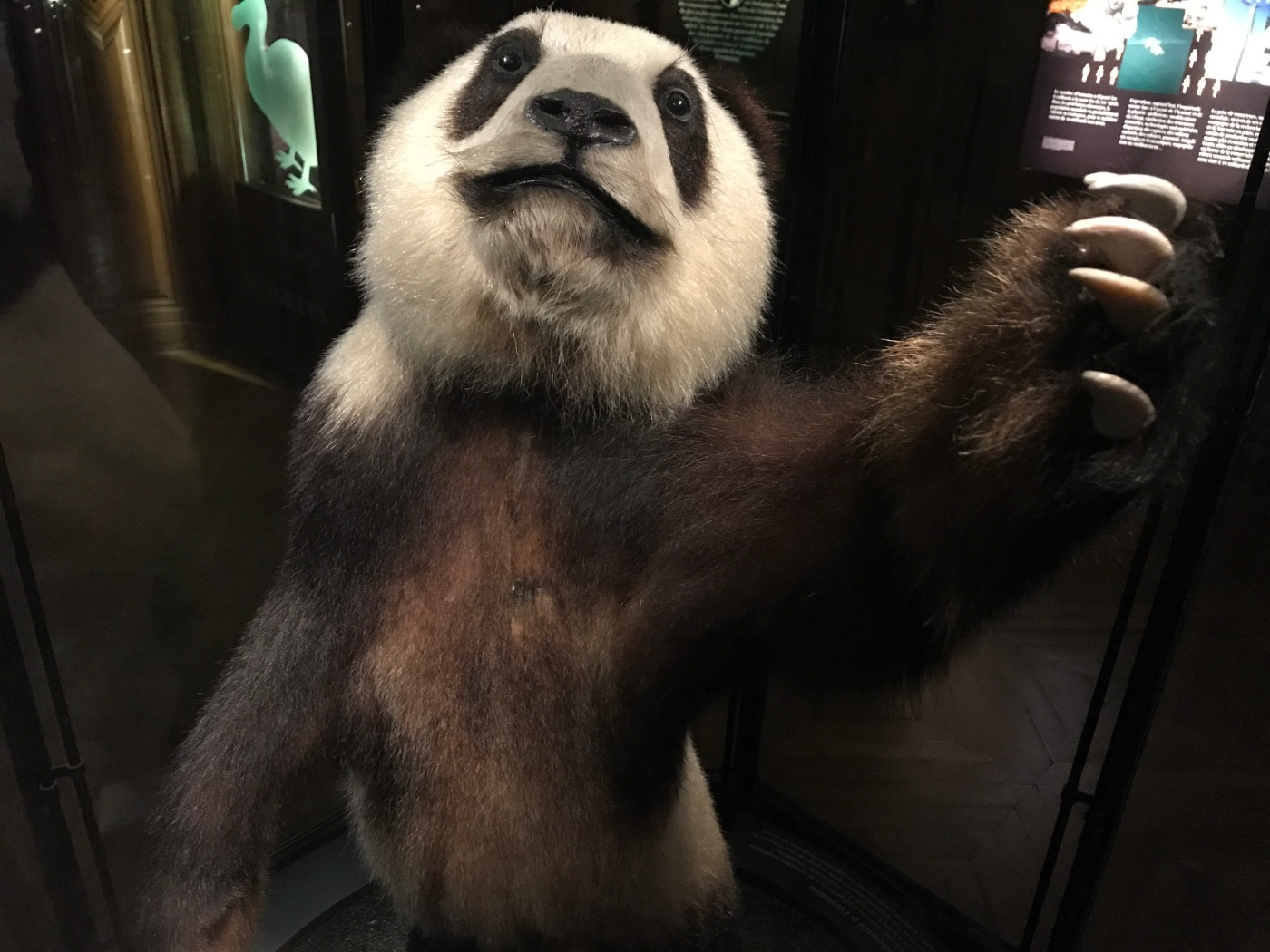 Li Li - This Rare Grand Panda Was Once Owned by Président Pompidou and is Now on Display in the Grand Galerie de L'Évolution Which is Part of the Muséum National D'Histoire Naturelle in Paris, France