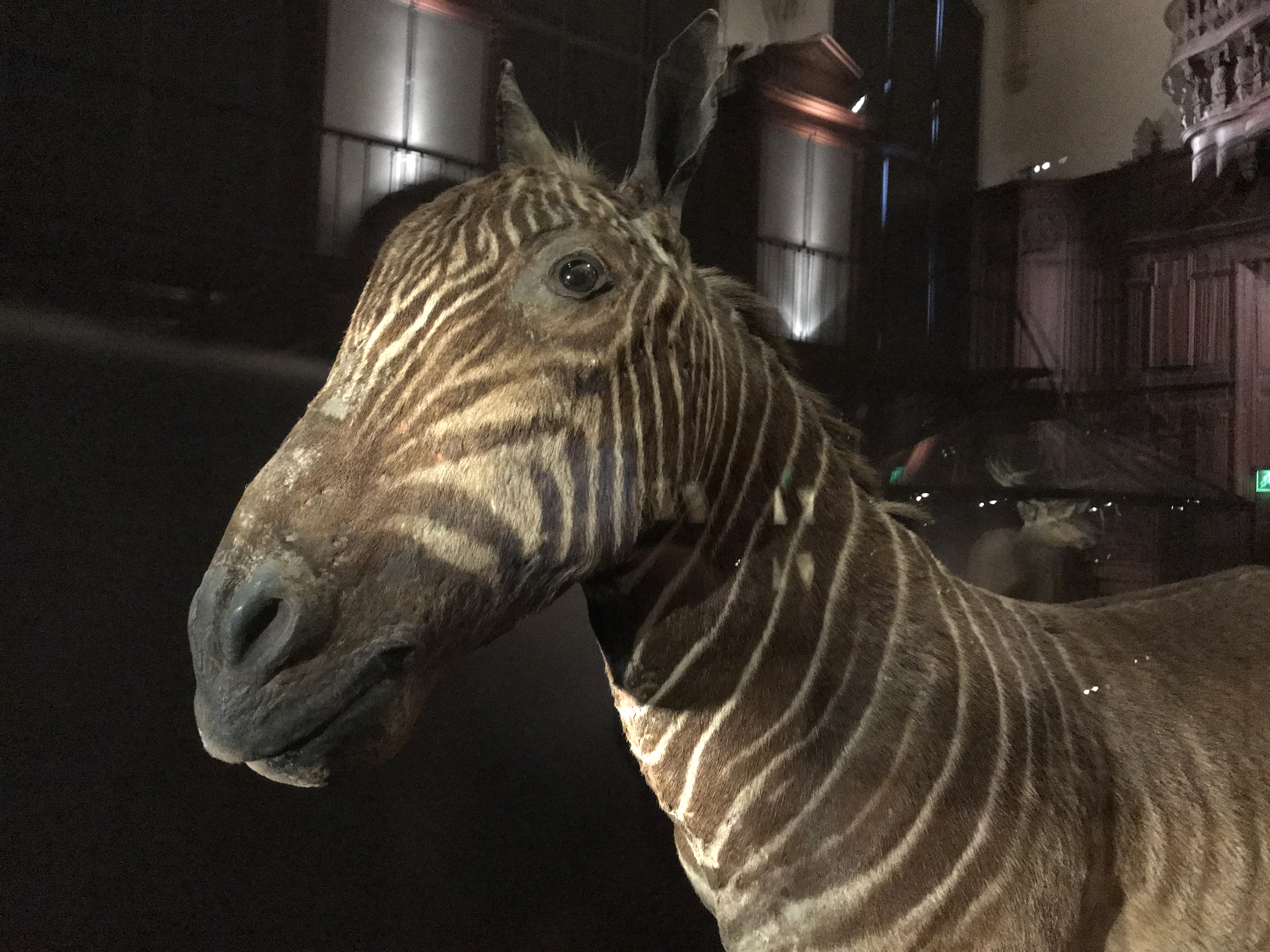 A Cautionary Tale - Quagga (A Subspecies of Zebra) Are Now Extinct This Specimen is at the Grande Galerie de L'Évolution in Paris, France