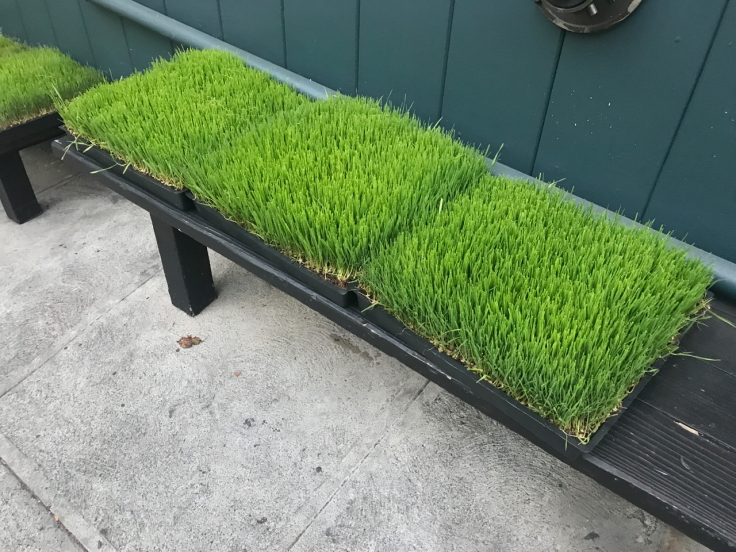 A photo of wheatgrass growing outside The Snug SF restaurant in San Francisco, California's Pac Heights neighborhood.