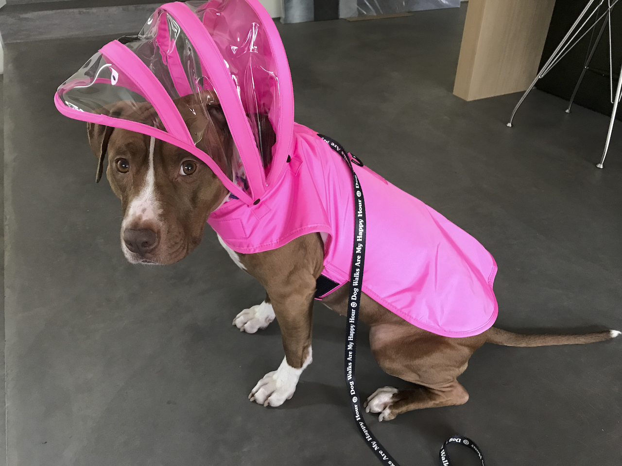 A red American Staffordshire staffie staffy dog wears a silly pink rain jacket from Pushi Pushi and a black leash from Puppies Make Me Happy to do her business. Photo Courtesy of FoodWaterShoes